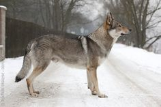 Czechoslovakian Vlcak This is 1/2 wolf 1/2 German Shepard!!!!! NOT! Its a pure breed!