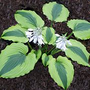 Goodness Gracious – is a sport of Satisfaction that has large, dark green, heart shaped leaves with showy wide yellow margins. This hosta has a spreading habit and the foliage is of good substance.