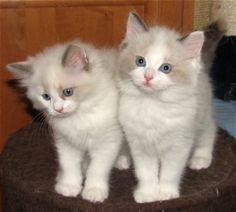 I will definitly own one of these adorable ragdoll cats someday soon!!!