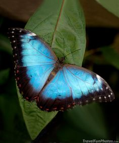 Blue Morpho Butterfly - Bridgetown, England  I got to see one of these out of season in Brazil!  It was a miracle -- loved it!