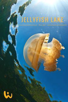 Jellyfish-Lake - eine der Hauptattraktionen für Schnorchler aus aller Welt - zu finden in Palau! #palau #jellyfish #lake #wirodive #tauchreisen #erlebnisreisen #scubakids #born2dive #oceanlovers #touchedbynature