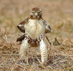 Funny Animal Pictures - View our collection of cute and funny pet videos and pics. New funny animal pictures and videos submitted daily. Animals And Pets, Funny Animals, Cute Animals, Eagle Animals, Nature Animals, Wild Animals, Beautiful Birds, Animals Beautiful, Red Tailed Hawk