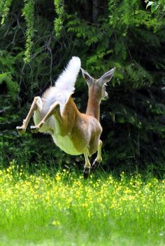 This photo perfectly illustrates how the Whitetail Deer got its name --- and boy, can they leap! Beautiful Creatures, Animals Beautiful, Animal Original, Deer Family, Oh Deer, Baby Deer, Nature Animals, Cute Baby Animals, Animal Photography