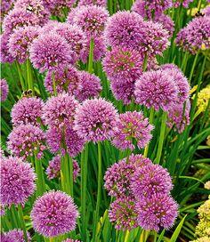 Elegant Allium Senescens St ck Beautiful GardenCourt