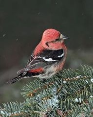 White winged Crossbill/  Isn't she pretty...