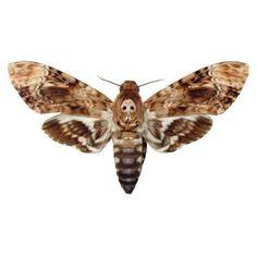 Deaths Head Moth Vinyl Decal 3 inch wide