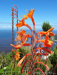 Photo about Watsonia in Tsitsikamma National Park coastal reserve in South Africa. Image of south, africa, native - 45630485 Tsitsikamma National Park, Wildflowers, Red Flowers, South Africa, Coastal, National Parks, Victoria, Stock Photos, Plants