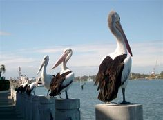 Australian Pelicans, Brisbane River
