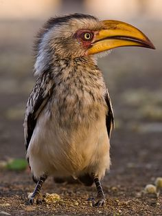 Yellowbilled Hornbill by deemacphotos, via Flickr