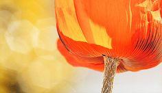 'Poppy' Nature Up Close Flowers #orange, #macro, #poppy, #flowers, #bokeh, #flower