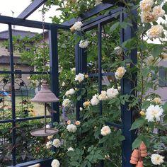 今朝の庭  アリスターステラグレイ  優しいクリームイエロー  花の大きさもパーゴラにぴったり❣️  #今朝の庭から #薔薇 #薔薇アーチ #DIY #DlY女子 ##garden #gardening #アリスターステラグレイ#手作りパーゴラ