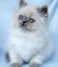 Blue-point Himalayan Kitten. Too cute for mere words!