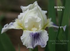 """(Marky Smith 2004) IB Iris, 22"""" (56 cm), EML HM 2007 S. white, faint lavender veining at end, midrib green; F. yellow shoulders fading cream to white in upper fall, lower portion heavily veined fluori"""