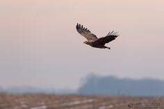 """Read """"Hungary Birds of Prey trip report part 3"""" - ( http://www.lensman.se/hungary-birds-of-prey-trip-report-part-3/ ) published on Lensman - Lennart Hessel Photography"""