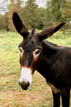 Donkey The Donkey, Happy Birthday Images, Donkeys, Goats, Cow, Photos, Animals, Happy Birthday Pictures, Pictures
