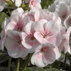 Maverick Appleblossom Geranium - Annual Flower Seeds