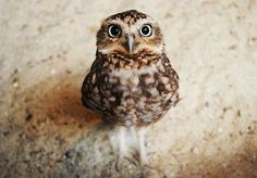 """Baby owls are called owlets, which look like cotton balls that grew faces"""
