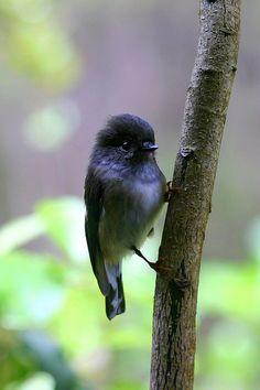 New Zealand North Island Tomtit Petroica macrocephala mirumiru Pretty Birds, Love Birds, Beautiful Birds, Birds 2, Birds In The Sky, Small Birds, Colorful Birds, Exotic Birds, Plantation
