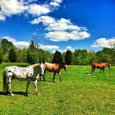 Beautiful Kentucky horses
