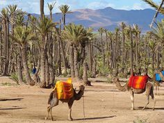 Date trees and camels - Marrakesh, Morocco Dates Tree, Places To Travel, Places To Visit, Abstract City, Le Far West, Travel Pictures, Travel Pics, North Africa, Wonders Of The World