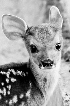 An oh my goodness cutie pie fawn for you to fawn over.