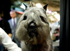 Bouvier des Flandres - looking well groomed!