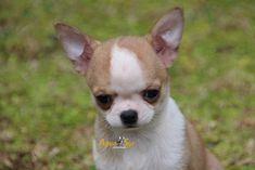 Chihuahua Care - 5 Important Issues Every Owner Should Know - Dog Pets Zone Raza Chihuahua, Chihuahua Breeds, Chihuahua Love, Chihuahua Puppies, Dog Breeds, Teacup Chihuahua, Best Dog Photos, Funny Dog Photos, Puppy Pictures