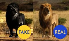 No, that's not a black lion. But for whatever reason you can find lots of black lions photoshopped from your standard Simba-style lion (and even albino lions, which are real) all over the internet. They look pretty badass. But sadly they're not real.