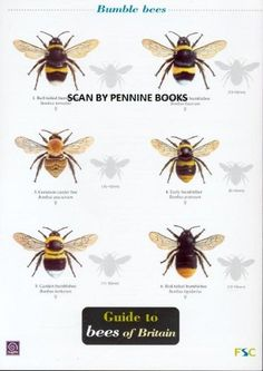 Guide to Bees of Britain (Occsional Publications) by O'Toole & Shields Buglife http://www.amazon.co.uk/dp/B004MZXGPK/ref=cm_sw_r_pi_dp_8Xqdub067MR43