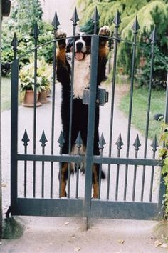 Password? Bernese Mountain Dog THIS IS MY FAVORITE THING ABOUT THESE DOGS THEY HOP UP LIKE THIS AND GIVE HUGS