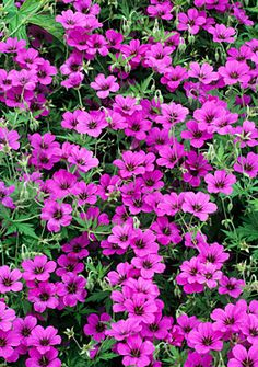 [IMG]Geranium Patricia - plants for a steep bank