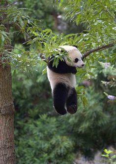 Little panda just hangin'