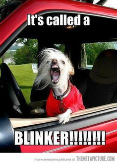 funny angry dog driving car