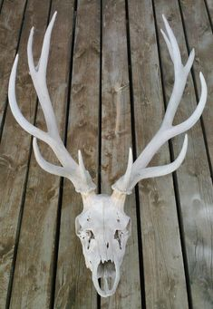 All-Natural Wild Elk Skull with Antlers by ElkCountryLDhaseleer