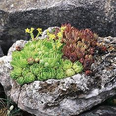 Hen-and-Chicks     Hen-and-chicks is a tough succulent groundcover that slowly spreads by producing offsets. It's well suited for growing in trough gardens because of its shallow root system. It also grows well in cracks and crevices in rocks or as part of a green roof garden. Pink or yellow flower stalks rise to a foot above the foliage.  These are hardy & easy to grow and I have tons of them.