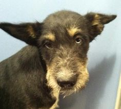 Animal ID35590499  SpeciesDog  BreedTerrier/Mix  Age6 months 3 days  GenderMale  SizeSmall  ColorBlack/Brown  SiteDepartment of Animal Services, City of El Paso  LocationKennel A  Intake Date6/8/2017
