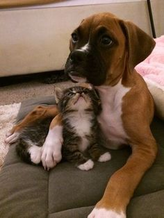 Boxer with a kitten