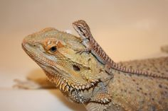 Young bearded dragons (Pogona spp) require a greater ratio of ...