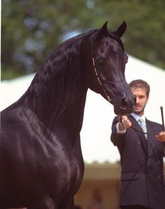 SIMEON SADIK (Asfour x Simeon Safanad, by Sankt Georg) 1989 black stallion
