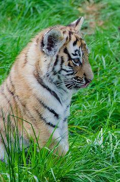 Hi Tiger! Wild Animals, Animals And Pets, Baby Animals, Cute Animals, Big Cats, Cute Cats, Save The Tiger, Tiger Cub, Wildlife Park