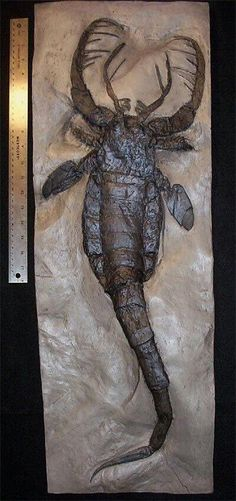 Eurypterid (sea scorpions) are an extinct group of arthropods related to arachnids which include the largest known arthropods that ever lived. Largest fossil in this group ever found about 8 ft. Prehistoric World, Prehistoric Creatures, Prehistoric Insects, Dinosaur Fossils, Extinct Animals, Science And Nature, Sea Creatures, Natural History, Archaeology