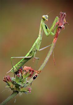 Praying Mantis By: ivo pandoli