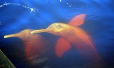 AMAZON - RIO NEGRO, Pink dolphins in the Amazon River.