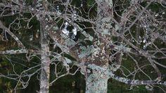 Jäkälää kasvaa puun rungolla ja oksilla.
