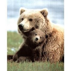 Grizzly Bear Playing with Cub Art Print POSTER quality - 13x19 (Kitchen) http://www.amazon.com/dp/B000G62U5G/?tag=wwwmoynulinfo-20 B000G62U5G
