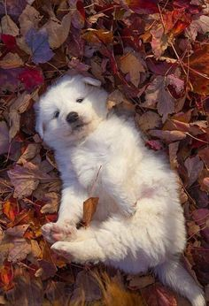Pyrenees Puppies, Great Pyrenees Puppy, Labradoodle Puppies, Cute Puppies, Cute Dogs, Dogs And Puppies, Doggies, Cute Puppy Pics, Cute Animals Puppies