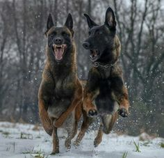 Belgian Malinois That, ummmm, smile tells me this isn't the welcoming party Berger Malinois, Belgian Malinois Dog, Belgian Shepherd, German Shepherd Puppies, Pastor Belga Malinois, Belgium Malinois, War Dogs, Mundo Animal, Service Dogs