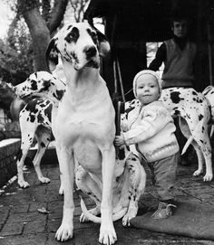 #Great #Danes with the little child. sweet love