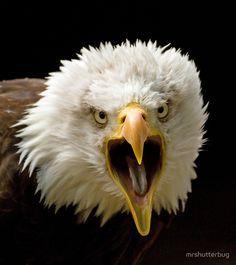 screaming eagle heads | flat,800x800,070,f.jpg