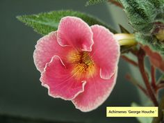 Achimenes 'George Houche ' by Serge Saliba, via Flickr